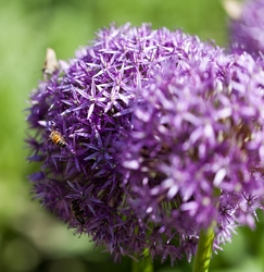 Bees on Purple Flower