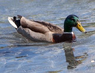 DC Duck 1