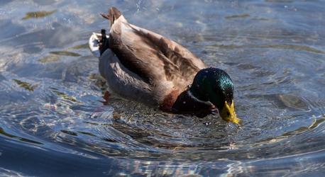 DC Duck 2