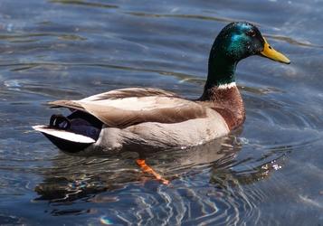 DC Duck 3