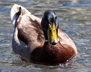 DC Duck 4