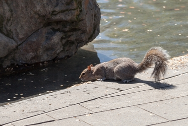 DC Squirrel 5