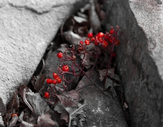 Discarded Berries