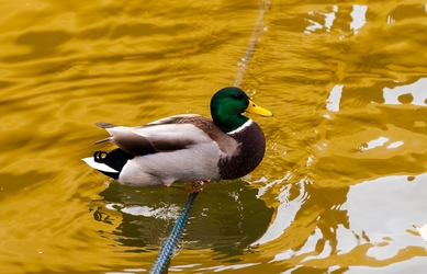 Duck On A Rope