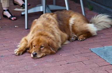 Flat Dog