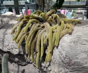 Tentacle Cactus