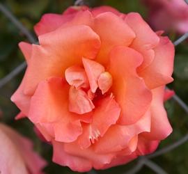 Flowers-3483