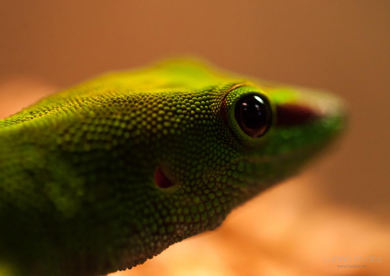 Macro Lizard Eye
