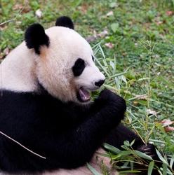 Omnom Panda