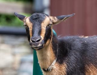 Srs Goat