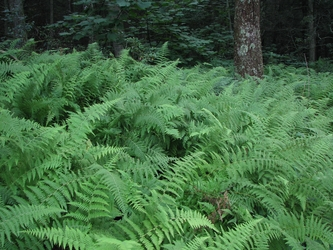 Tranquil Ferns