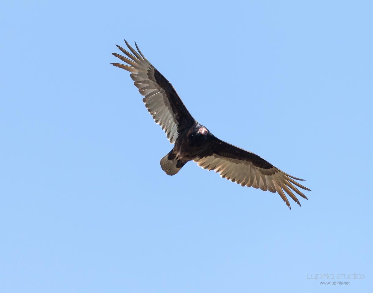Vulturing