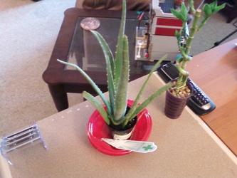 Aloe and Bamboo