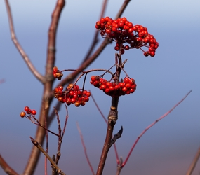 Berries and Sky