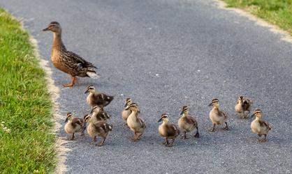 Bunch of Baby Ducks