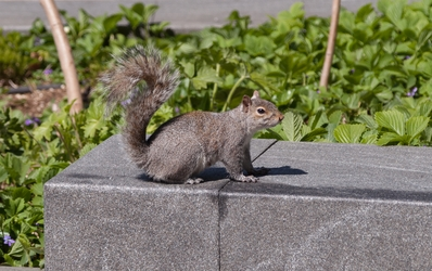 DC Squirrel 4