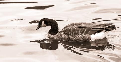 Pittsburgh Goose