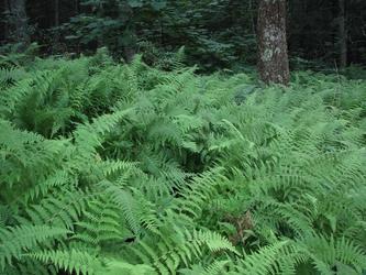 Tranquil Ferns